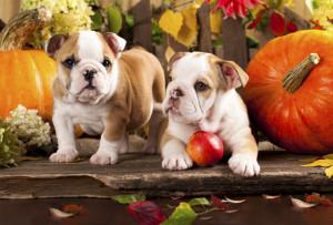 english-bulldogs-puppies