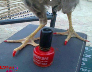 Hen Nail Polish Introduced Funny Joke Picture