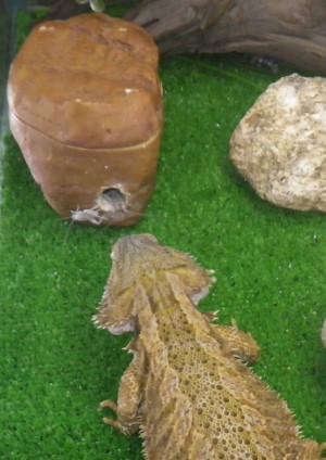 Feeding Bearded Dragon Crickets
