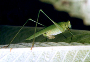 Chewing Mouthparts Grasshopper