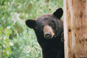MARYLAND-BLACK-BEAR-facebook.jpg