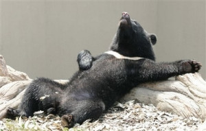 Funny black bear