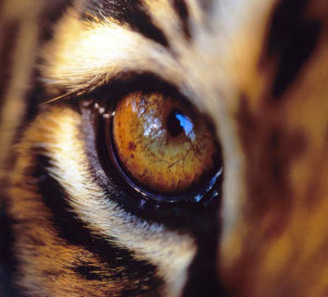 It's the eye of the tiger .