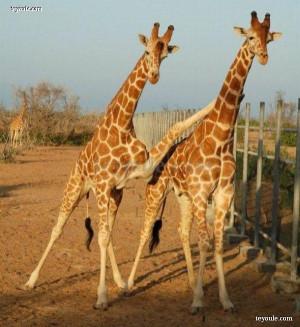 有趣长颈鹿图片