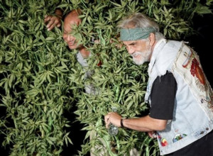 Cheech And Chong Quotes About Weed Burnin' more trees than cheech