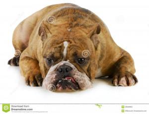 Grumpy Dog Stock Photos Image