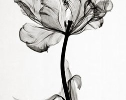 steven meyers . x-ray image of a parrot tulip – so much detail for a ...