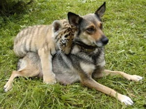 Young German Shepherd and Tiger Cub, A cute couple. This little tiger ...