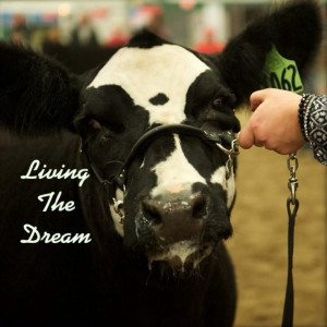 Show Cattle - dolly - living the dream