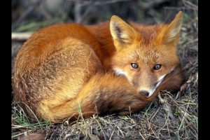 Red Fox Animal