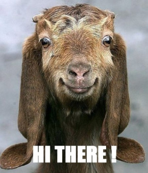 funny goat picture funny goat picture