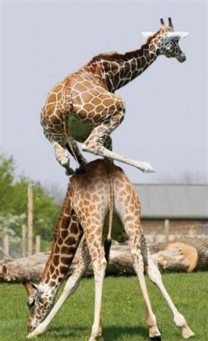 Giraffe Animals Funny Pictures