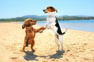 two dog dancing on the beach an inteligent dog wearing glasses