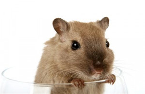 Funny Rat in Glass Wallpaper