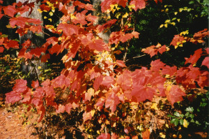 Fall Leaves - Photo by Susan Gregg-Schroeder