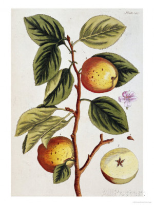elizabeth blackwell apple tree malus sativa 1739 Animated Tree With ...