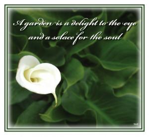G01 Calla Lily - 'Delight'