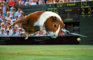 Related Pictures cute guinea pigs images funny