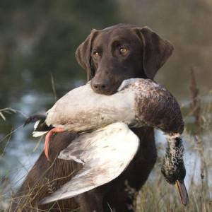 ... Hunting, Chocolates Labrador Hunting, Chocolate Labs Hunting, Labrador