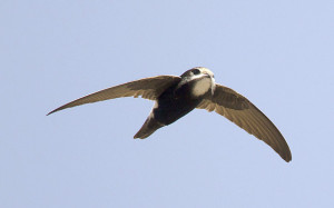 Little swift (Apus affinis) adult, in flight, with nesting material in ...