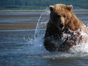 Grizzly Bear Charge