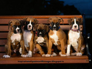 About Boxer Dogs | Boxer Dog pics