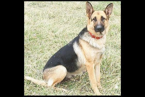 About 'German Shepherd Dog'