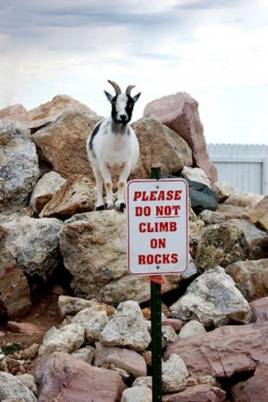 funny goat pictures 30 (8)