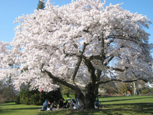 my favourite cherry blossom tree