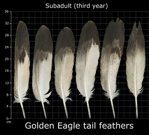 Golden Eagle Feather Identification