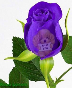 miss you Purple rose via Rose Lovers
