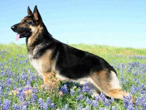 german shepherd dogs hd images high resolution wallpapers german ...