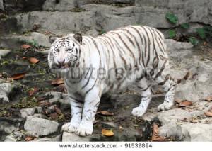 Beautiful White Tiger Guangzhou Endangered Animal China