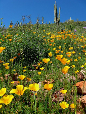 Mexican Gold Poppies, Roosevelt Lake Wildlife Area, Tonto Basin ...