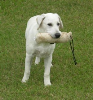 White Labrador Retriever Vegas