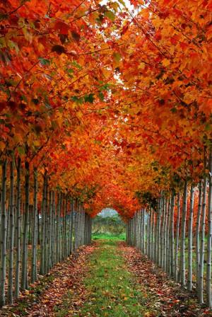 Autumn Tree Tunnel, Washington State by TinyCarmen