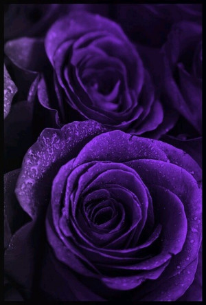 Purple Roses And Hearts Purple, roses, purple