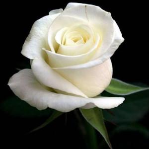 White rose graphics 11