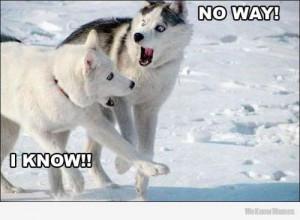 no-way-i-know-husky.jpg