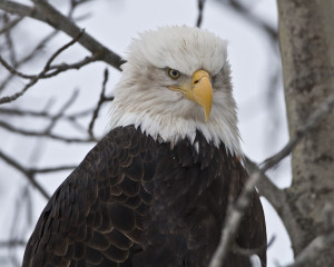 Bald Eagle Sayings