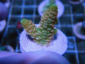 Tequila Sunrise Millepora Very Very Limited Limit 1