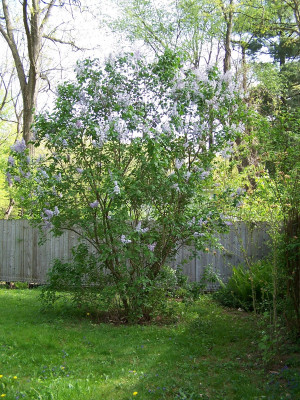 The lilacs in the back yard are exceptionally pretty this year - maybe ...