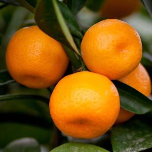 Satsuma Orange Seto Citrus...