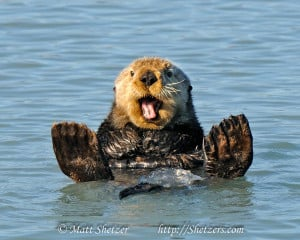 Sea otter waves hello while swimming