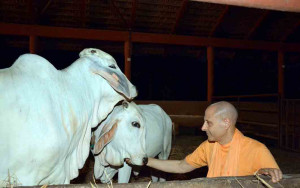 Radhanath-Swami-caressing-cows
