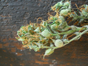 ... cannabis which has been allowed to go to seed for future generations
