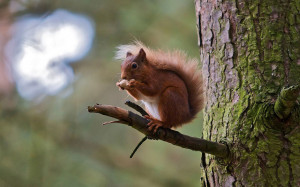 hd-squirrel-wallpaper-with-a-brown-squirrel-eating-a-nut-and-is ...
