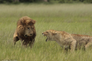 ... tongue? What happened to a male lion when he angered his jealous mate