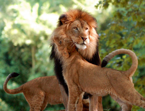 Lion Love Quotes Lion Love Lion Lions Love Cute