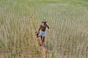 Representational Image: A farmer walks through a paddy field at ...